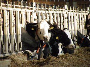 Kühe | CC BY barockschloss via flickr